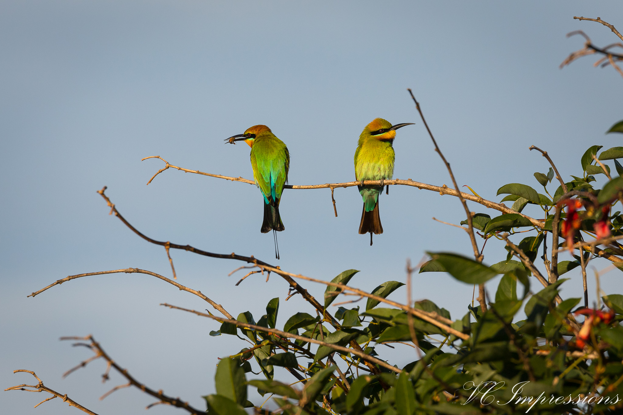 Pic of the Day – Rainbow Bee Eater