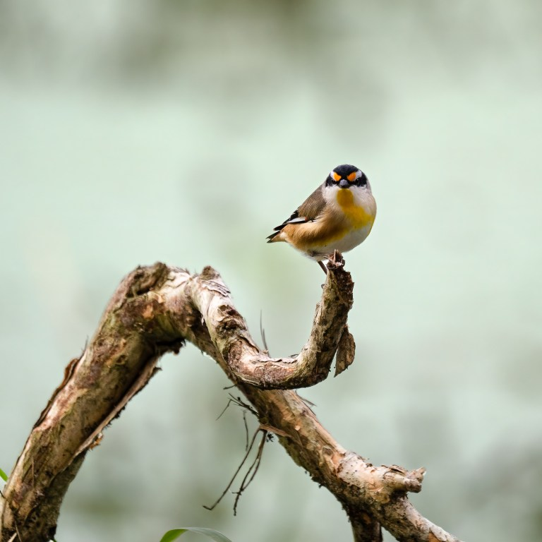 Pic of the Day – Striated pardalote