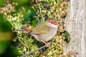 Pic of the Day – Red-bowed finch