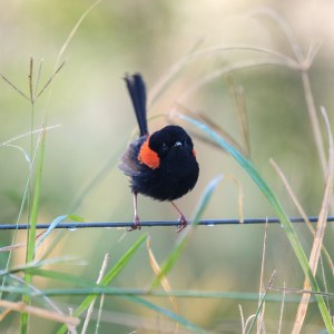 Pic of the Day – Red-backed Fairywren