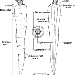 Labelled Diagram Of Xylem And Phloem 1955 Chevy Truck Ignition Wiring Flower With Labeled Parts Imageresizertool Com