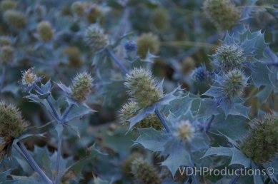 Blauwe zeedistel Eryngium maritimum-7