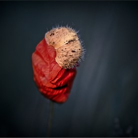 poppy people