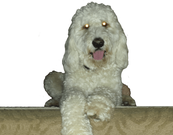 Darby the Doodle
