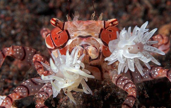 Brmbolcový krab