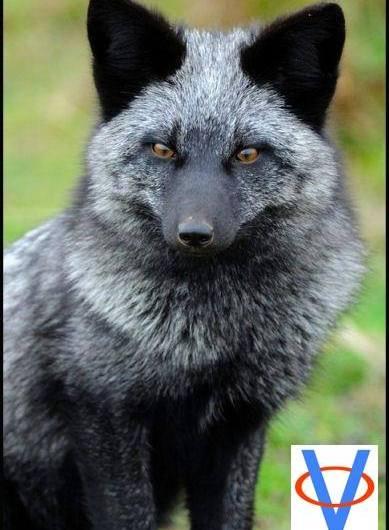 Ruské domestikované líšky