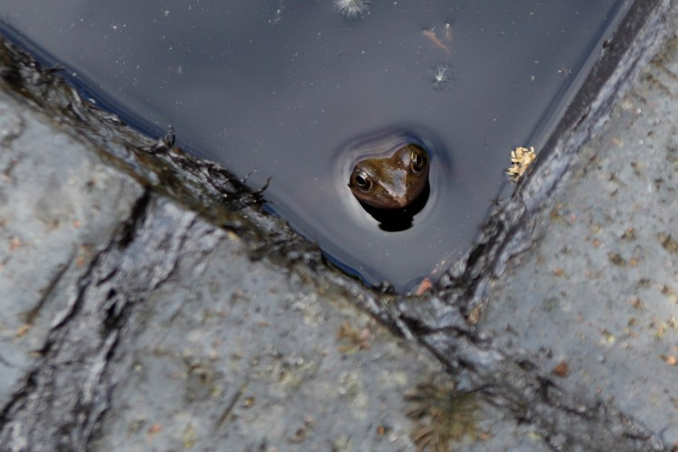 Frog. Veddw Copyright Anne Wareham