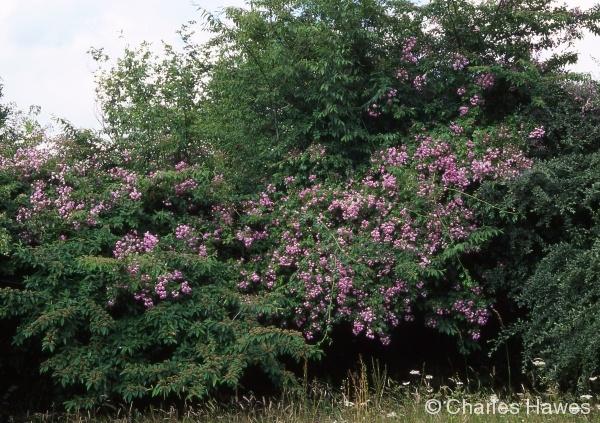 Veddw - South Garden - Magnolia Walk