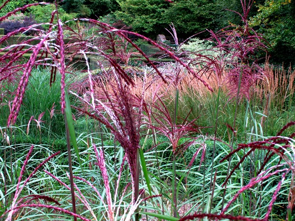 Grasses parterre, veddw, copyright Anne Wareham