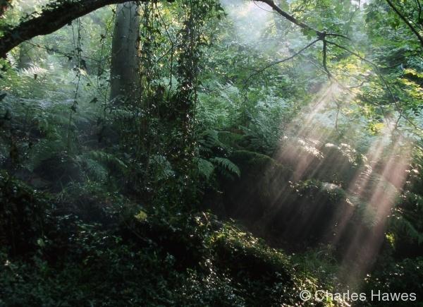 Veddw - South Garden - Hazel Coppice