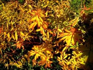 Euphorbia griffithii fireglow, autumn colour at Veddw, copyright Anne Wareham