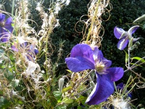 Late clematis and favourite weeds, Veddw copyright Anne Wareham, Veddw, Monmouthshire, South Wales, Welsh garden, garden blog