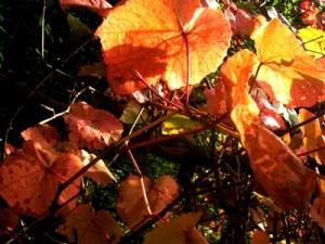 Vitis cognetiae, Veddw, Monmouthshire, South Wales Garden copyright Anne Wareham
