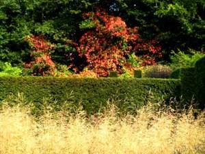 Vitis coignetiae at Veddw, Monmoutshire, South Wales Garden, copyright Anne Wareham