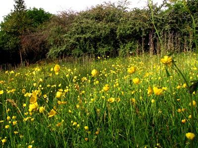 Meadow early June Veddw copyright Anne Wareham