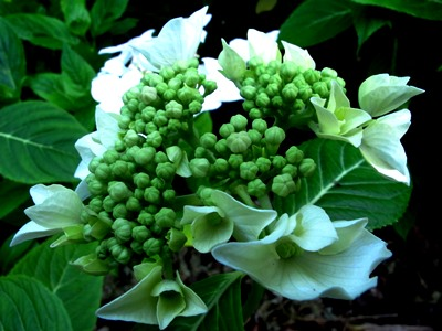 Hydrangea macrophyll a 'Lanarth White' August 2013 Veddw South Wales Garden Attraction,copyright Anne Wareham 027