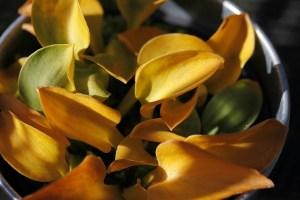 hosta-leaves-veddw-copyright-anne-wareham_mg_3143