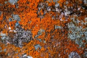 lichen-at-veddw-coyright-anne-wareham