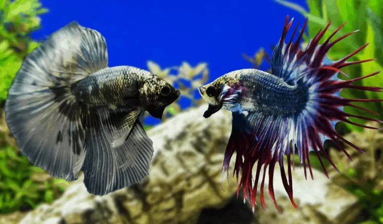 Betta Fish Fight – All you Need To Know