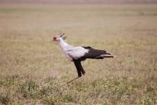 Een prachtige secretarisvogel