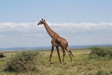 De giraffes op deze vlakte zijn vaak eenzaam...