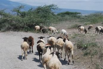 De schapen van een lokale Maasai 'boma'