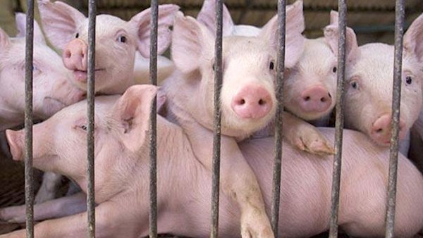 overcrowded pigs on factory farm