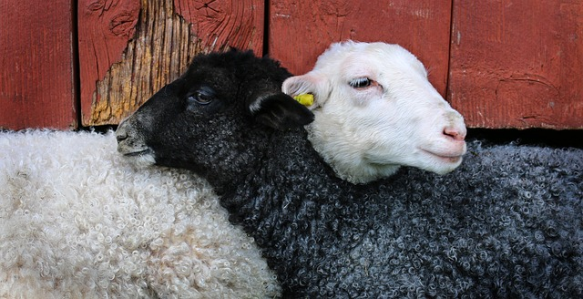 Lamb friends
