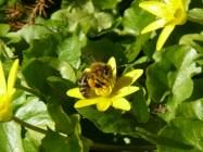 Scharbockskraut als Bienenweide