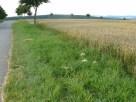 Getreidefeldrand (konventionell)