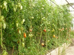 Tomatenvielfalt ohne tierliche Düngung