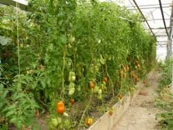 Tomatenpracht dank Pflanzenkompost und Kräutertee