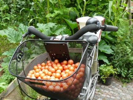 Kirschpflaumenernte