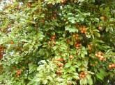 Kirschpflaumenparadies