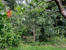 Unser 3-Sorten-Apfelbaum