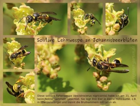 Lehmwespe (Ancistrocerus nigricornis)