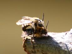 Melecta albifrons