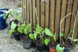 Feuerbohnen Jungpflanzen