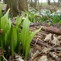 wild garlic and snowdrops