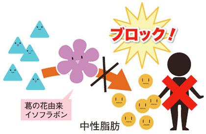 ① 脂肪を作らせない! / 葛の花 3大パワー