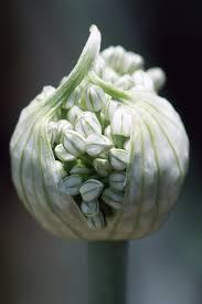 Onion Flower Pod