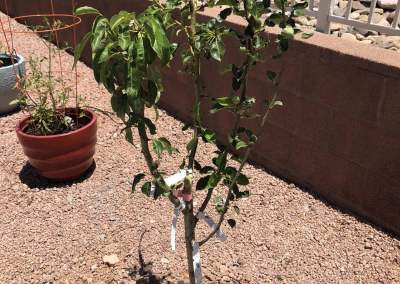 Grafted Pear Tree