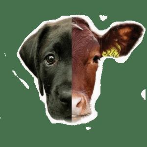 mi a különbség? marha és kutya