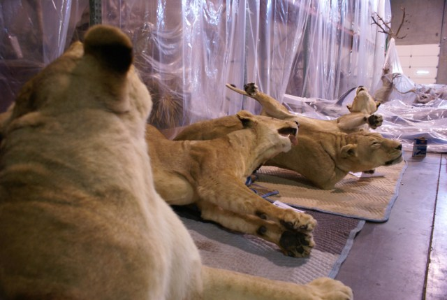 2007-2012 között 47 db Dél-Afrikában kilőtt oroszlán trófeájára kértek kiviteli engedélyt magyar trófeavadászok.