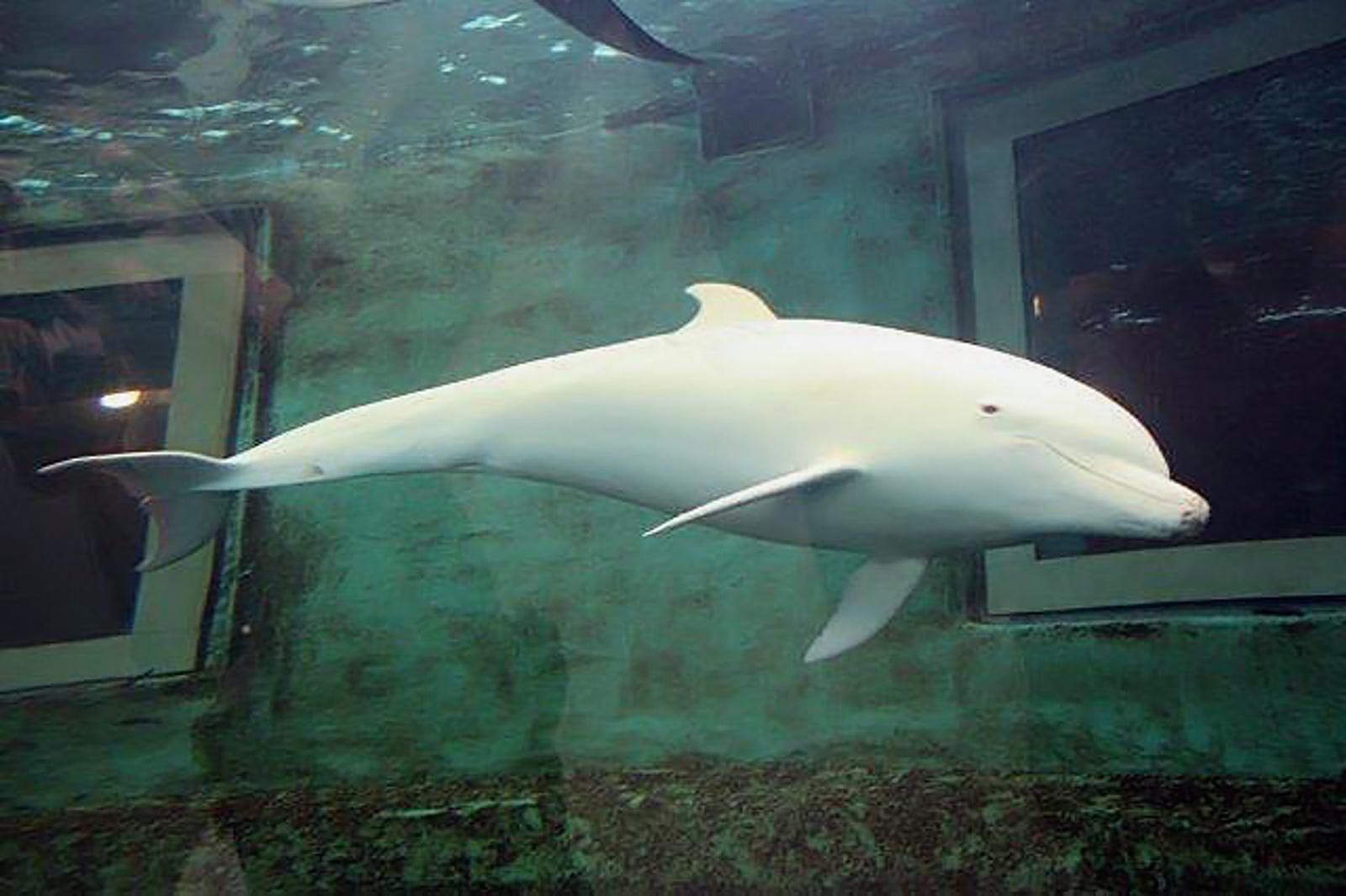 Fehér delfin egy állatkerti tartályban.