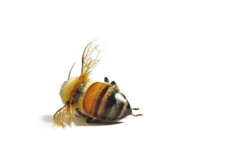 halott méh