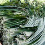 Piñatexgyártáshoz használt ananászlevelek