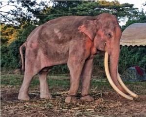 thong-bai-elephant-thailand-chains