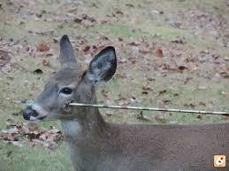 la caza ciervo