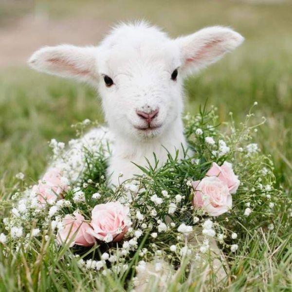 lamb cordero